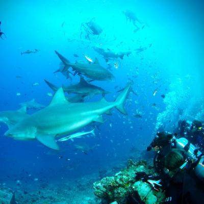 Voluntarios ambientales en Fiyi fotografían a varios tiburones durante su voluntariado de conservación de tiburones.